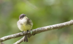 easternphoebe-window-cusmile-8029