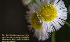 ccp_daisylightpoem-ss