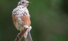ccp-juvenilebluebird-3462